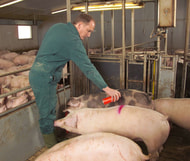 Spürbar weniger Schlachtschweine am Haken