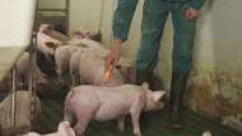 Schweinehalter