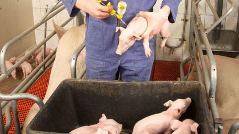 Danemark Zaun Gegen Deutsche Wildschweine Gesundheit News Sus