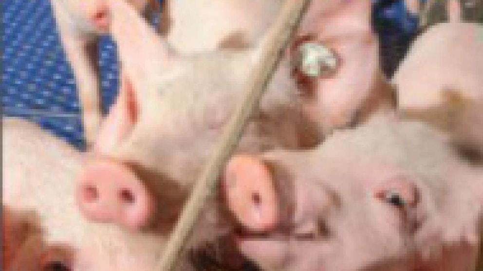 gesunde Schweine